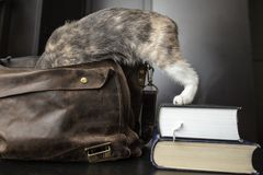 A pretty curious cat climbed into an old leather briefcase, and. A young handsome curious cat climbed into an old leather briefcase, and his hind legs remained royalty free stock photo