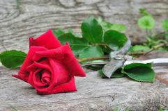 Pretty cut red rose Stock Photo
