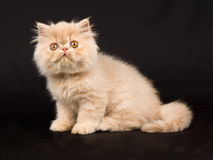 Pretty cute Persian kitten on black background Royalty Free Stock Photos