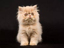 Pretty cute Persian kitten on black background Stock Images