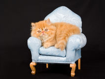 Pretty cute Persian kitten on mini chair Royalty Free Stock Images