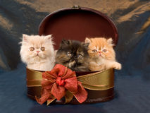 Pretty cute Persian kittens in gift box Royalty Free Stock Photo