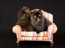 Pretty cute Persian kittens on mini chair Stock Photos