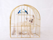 Pretty cute Ragdoll kitten with birdcage Stock Image