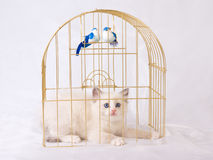 Pretty cute Ragdoll kitten inside gold birdcage Stock Photo