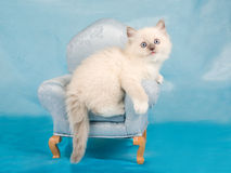 Pretty cute Ragdoll kitten on mini chair Royalty Free Stock Photos