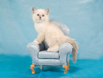 Pretty cute Ragdoll kitten on mini chair Stock Image