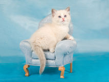 Pretty cute Ragdoll kitten on mini chair Royalty Free Stock Photo