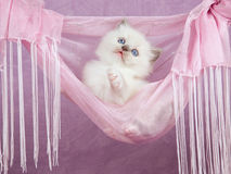 Pretty cute Ragdoll kitten in pink hammock Stock Images