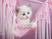 Pretty cute Ragdoll kitten in pink hammock Royalty Free Stock Image