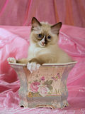 Pretty cute Ragdoll kitten in planter Royalty Free Stock Photos