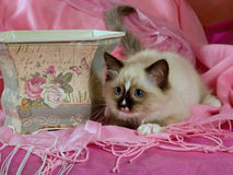 Pretty cute Ragdoll kitten in planter Royalty Free Stock Images