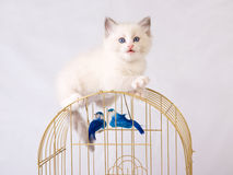 Pretty cute Ragdoll kitten on top of birdcage Royalty Free Stock Photos