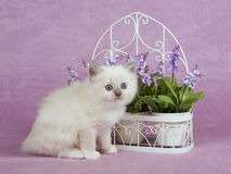 Pretty cute Ragdoll kitten with trellis flowers Royalty Free Stock Image