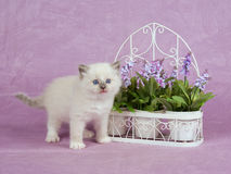 Pretty cute Ragdoll kitten with trellis flowers Stock Photo