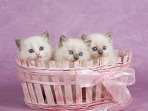 Pretty cute Ragdoll kittens in pink basket. Cute pretty Ragdoll kittens sitting in pink basket on pink background stock photography