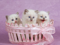 Pretty cute Ragdoll kittens in pink basket. Cute pretty Ragdoll kittens sitting in pink basket on pink background royalty free stock photography