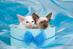 Pretty cute Siamese kittens in blue gift box Royalty Free Stock Photos