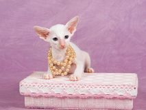 Pretty cute Siamese Oriental kitten with pearls Royalty Free Stock Photos