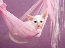 Pretty cute Siamese Oriental kitten pink hammock Royalty Free Stock Photo