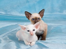 Pretty cute Siamese Oriental kittens Royalty Free Stock Image