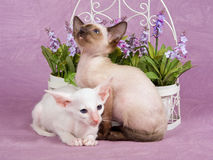 Pretty cute Siamese Oriental kittens with flowers Stock Images