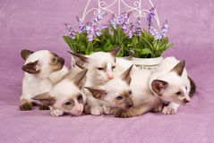 Pretty cute Siamese Oriental kittens with flowers Stock Photos