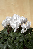 Pretty cyclamen Royalty Free Stock Photos