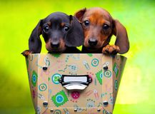 Dachshund puppy baby dog in studio quality Stock Image