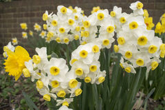 Pretty Daffodil Flowers Stock Images