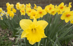 Pretty Daffodil Flowers. Photo Of Pretty Daffodil Flowers Minnow Narcissus royalty free stock photos