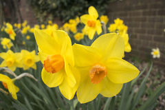 Pretty Daffodil Flowers. Photo Of Pretty Daffodil Flowers Minnow Narcissus stock photography