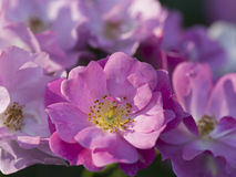 Pretty dainty pink dog rose Stock Photography