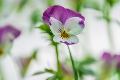 Pretty dainty purple and white spring pansy stock image