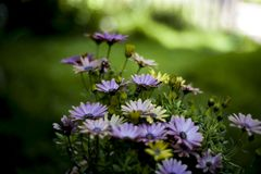 Pretty daisies in the garden. With blurry background and sunbeam royalty free stock photos