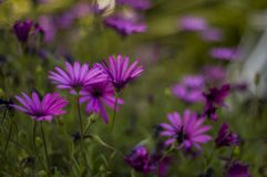 Pretty daisies in the garden. Pretty purple daisies in the garden with blurry background and bokeh effect royalty free stock photography