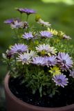 Pretty daisies in the garden. Pretty daisies on clay pot in the garden with green background royalty free stock photos