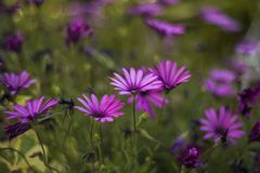 Pretty daisies in the garden. Pretty daisies in the greenery of the garden and blurry baclground royalty free stock image