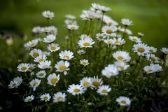 Pretty daisies in the garden. Pretty white daisies in the garden on blurry green background stock photos