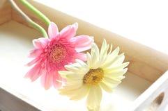 Pretty daisy in box Stock Image