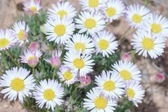 Pretty Daisy or Pretty Fleabane Erigeron bellidiastrum. Colorado Wildflowers stock photography