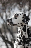 Pretty dalmatian. Dalmatian looks into the distance with interest Stock Photos