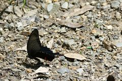 Pretty dark butterfly perched on the ground, Kyoto, Japan stock photos