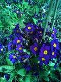 Pretty dark purple flower Royalty Free Stock Image
