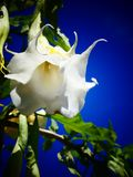 Pretty Datura Bloom Against a Blue Sky. Brugmansia Candida, also known as Angel`s Trumpet is a toxic plant with beautiful blooms that hang like a pendant stock photography
