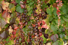 Pretty delicate autumn colours in ivy Royalty Free Stock Photo