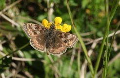A stunning Dingy Skipper Butterfly Erynnis tages nectaring on a Bird`s-foot-trefoil flower Lotus corniculatus. A pretty Dingy Skipper Butterfly Erynnis tages Stock Photo
