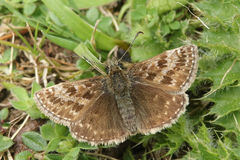 A pretty Dingy Skipper Butterfly Erynnis tages perched on a plant with spread wings. A Dingy Skipper Butterfly Erynnis tages perched on a plant with spread Stock Photography