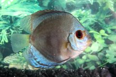 Pretty Discus Fish Stock Photos