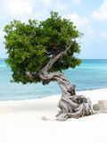 Pretty Divi Divi Tree in Aruba Stock Photo